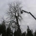 Vi fäller ett stort träd.