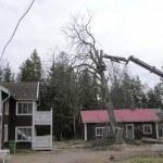 Trädfällning av en stor kastanj pågår.