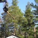 Fäller träd med gripsåg. Del nummer två tas ned. När endast högstubben är kvar sågar vi av den manuellt med motorsåg.