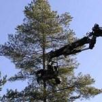 Trädfällning med gripsåg. Här placeras aggregatet för att kunna såga första biten av trädet