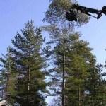 Trädfällning med gripsåg. Första biten är kapad.